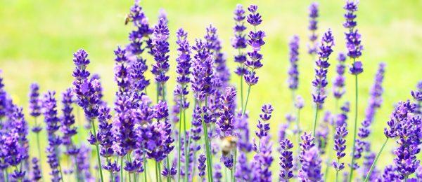 lavender-1117274_1920